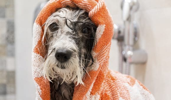 Dog With Towel After Bath